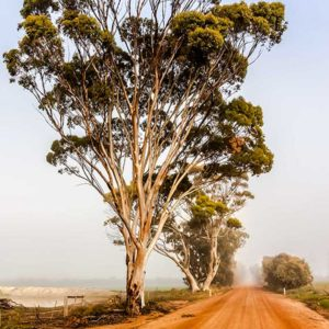 Salmon Gums in the Great Southern Nature Photography Chris Burton.