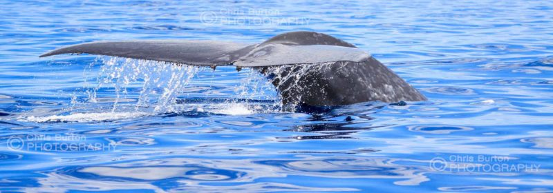 Blue Whale Photography Cape Naturaliste South West Australia Whale Photography, by Chris Burton.