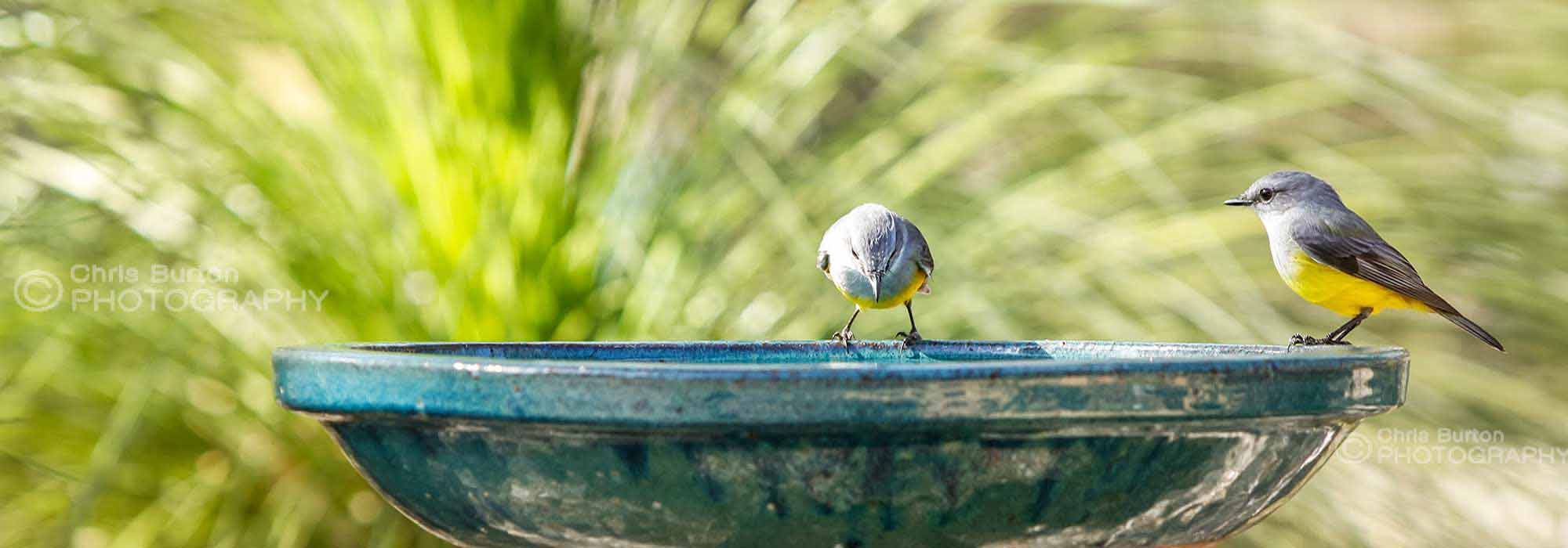 Yellow Robins Wildlife Photography, by Chris Burton.