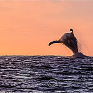 Humpback Whales Breaching Sunset | Chris Burton Photography