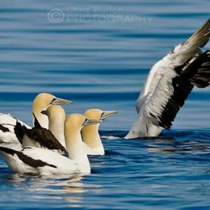 Australasian Gannets Wildlife Photography, by Chris Burton.
