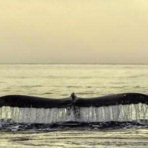 Humpback Whale Tail Sunset Whales and Beach Photography, by Chris Burton.